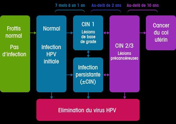 Evolution des différents grades des lésions à HPV ©Papillomavirus.fr