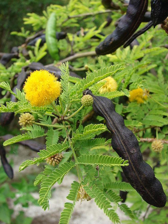 """Feuilles, fleurs et fruits du cassier, auxquels renvoie l'expression alternative """"Passez moi la casse, je vous passerai le séné"""" (cc by-sa Forest & Kim Starr)"""