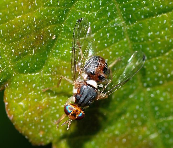Bactrocera oleae (cc-by-sa Alvesgaspar)