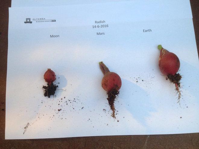 Radis cultivés sur un sol de type lunaire, martien, et terrestre. (crédits : Wieger Wamelink)