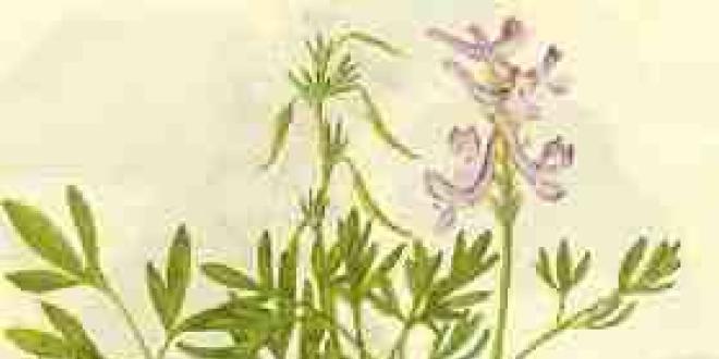 Gravure extraite d'un traité botanique chinois représentant la Corydalis yanhusuo (延胡索).