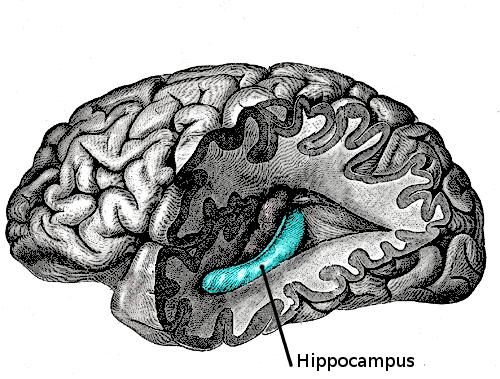 Localisation de l'hippocampe