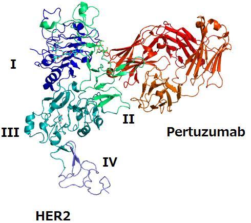 En bleu, la protéine HER2. En rouge, le Pertuzumab, qui se fixe sur une partie de la molécule. (Crédits : Takuma-sa)