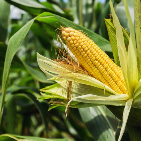 Le maïs transgénique de nouveau autorisé en France?