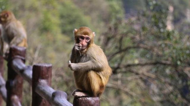 Herpès virus B du singe : faut-il s'inquiéter ?