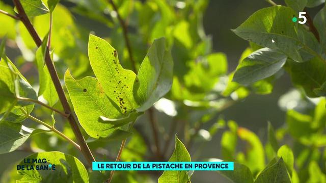 Les pistaches font leur retour en Provence