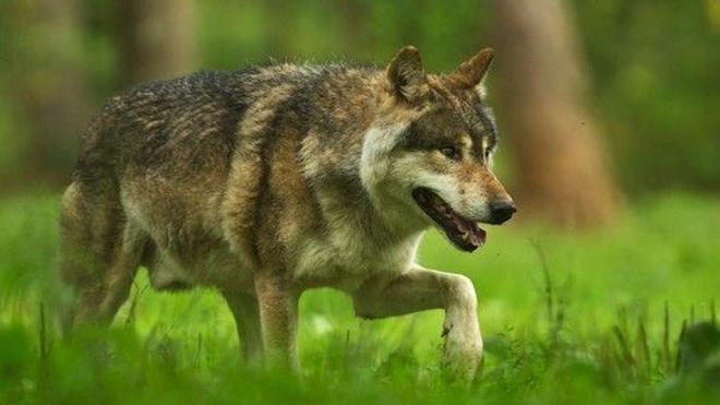 Mordue par un loup