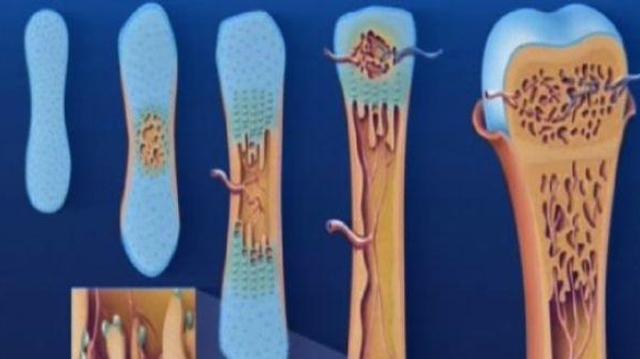 De la sérotonine dans nos os