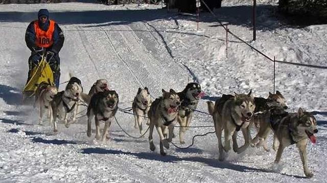 Un « musher » sauvé de l'hypothermie par ses chiens