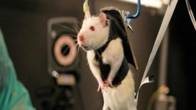Petit rat : lève-toi et marche !