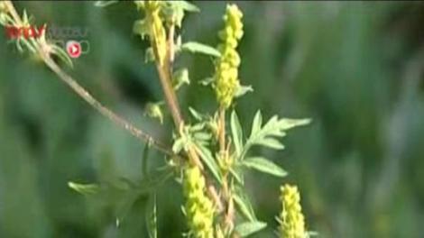 Les pollens d'ambroisie prennent leurs quartiers d'été !