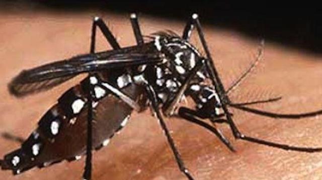 Le moustique de la dengue envahit Cuba