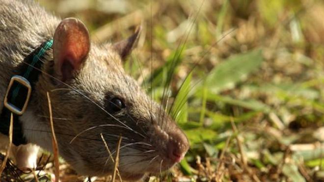Des rats qui détectent la tuberculose