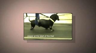 Des chiens paralysés qui remarchent !