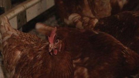 Grippe aviaire : une nouvelle souche fait deux morts en Chine